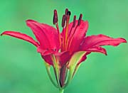 U S Fish And Wildlife Service Wood Lily canvas prints