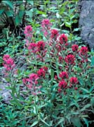 U S Fish and Wildlife Service Wyoming Paintbrush