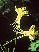 U S Fish and Wildlife Service Yellow Columbine