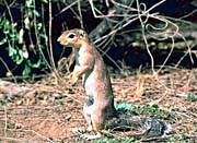 U S Fish And Wildlife Service African Ground Squirrel