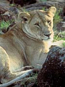 U S Fish And Wildlife Service African Lioness