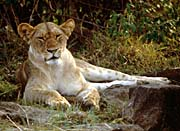 U S Fish And Wildlife Service Female African Lion