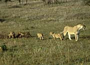 U S Fish And Wildlife Service African Lion with Cubs