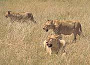 U S Fish And Wildlife Service African Lions