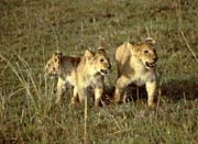 U S Fish and Wildlife Service African Lion Cubs