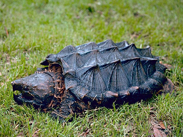 U S Fish and Wildlife Service Alligator Snapping Turtle stretched canvas art print