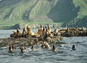 U S Fish and Wildlife Service Amak Island, Sea Lions