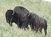 U S Fish and Wildlife Service American Bison