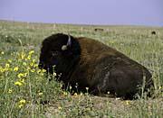 U S Fish and Wildlife Service Bison Wildlife
