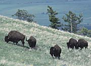 U S Fish And Wildlife Service Rocky Mountain Bison