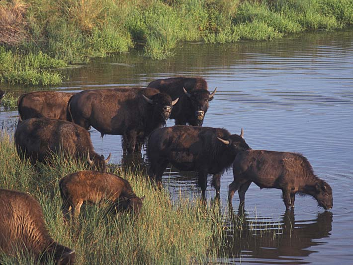 U S Fish and Wildlife Service Wild Bison stretched canvas art print