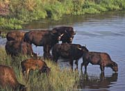 U S Fish And Wildlife Service Wild Bison
