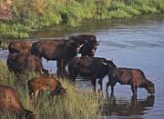 U S Fish And Wildlife Service Wild Bison canvas prints