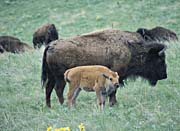 U S Fish and Wildlife Service Bison Cow and Calf