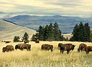 U S Fish And Wildlife Service Bison Herd canvas prints