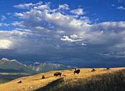 U S Fish And Wildlife Service Buffalo on the Range