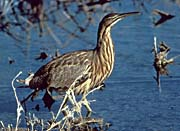 U S Fish and Wildlife Service American Bittern