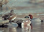 U S Fish and Wildlife Service American Wigeon