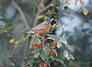U S Fish And Wildlife Service American Robin