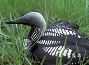 U S Fish And Wildlife Service Artic Loon