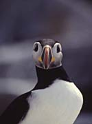 U S Fish And Wildlife Service Atlantic Puffin