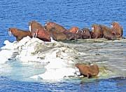 U S Fish and Wildlife Service Walrus on Bering Sea Ice