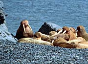 U S Fish And Wildlife Service Herd of Walrus