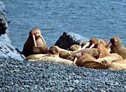 U S Fish and Wildlife Service Herd of Walrus