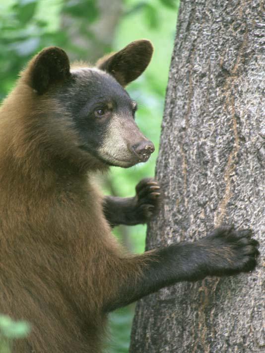 U S Fish and Wildlife Service American Black Bear stretched canvas art print