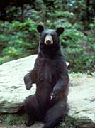 U S Fish And Wildlife Service Black Bear Print