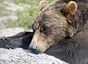 U S Fish and Wildlife Service Brown Bear Resting