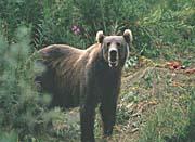 U S Fish And Wildlife Service Kodiak Bear canvas prints