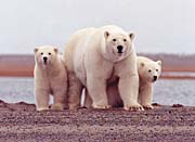 U S Fish and Wildlife Service Polar Bear Female with Cubs