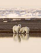 U S Fish And Wildlife Service Polar Bears canvas prints