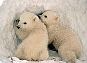 U S Fish And Wildlife Service Polar Bear Cubs canvas prints