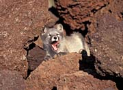 U S Fish And Wildlife Service Arctic Fox canvas prints