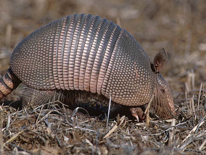 U S Fish and Wildlife Service Armadillo stretched canvas art print