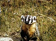 U S Fish And Wildlife Service Badger
