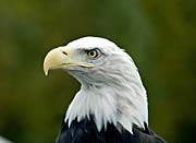 U S Fish And Wildlife Service U S A Bald Eagle canvas prints