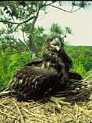U S Fish And Wildlife Service Bald Eagle Chick canvas prints