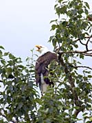 U S Fish and Wildlife Service Bald Eagle in Tree