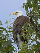 U S Fish And Wildlife Service Bald Eagle on Tree Branch