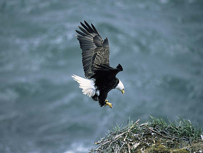 U S Fish and Wildlife Service Bald Eagle Landing on Nest stretched canvas art print