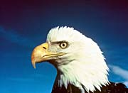 U S Fish and Wildlife Service Bald Eagle in America