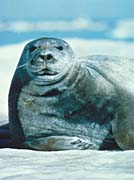 U S Fish and Wildlife Service Bearded Seal