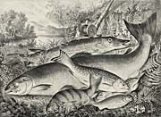 Currier And Ives American Game Fish