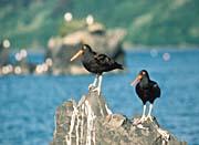 U S Fish and Wildlife Service Black Oystercatchers