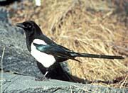 U S Fish and Wildlife Service Black-Billed Magpie