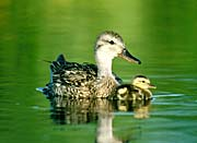 U S Fish and Wildlife Service Gadwall Ducks
