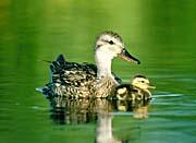 U S Fish and Wildlife Service Gadwall Ducks